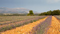 Free Blooming Lavender Field, Provence, France Royalty Free Stock Photo - 26632295