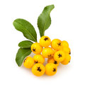 Free Buckthorn Cluster Royalty Free Stock Photos - 26636158
