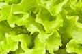 Free Lettuce Leaves Stock Photos - 26636203
