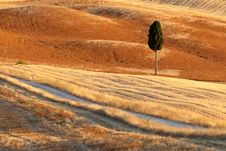 Lonely Cyprus, Tuscany, Italy Royalty Free Stock Photography