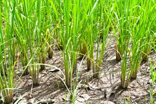 Free Rice Field Green Grass Royalty Free Stock Photo - 26633415
