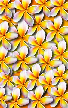 Free Beautiful Plumeria Background Stock Photography - 26634882