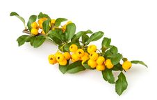 Free Buckthorn Branch Stock Photos - 26636163