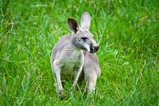 Free Kangaroo On Green Grass Stock Image - 26636231