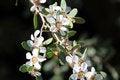 Free Albany Ti Tree Flowers Royalty Free Stock Photo - 26641335