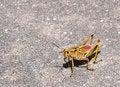 Free Giant Grasshopper Stock Photo - 26641660