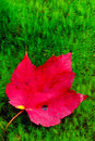 Free Red Maple Leaf Lies On Green Moss. Royalty Free Stock Photography - 26641917