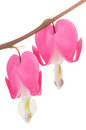 Free Pink Bleeding Heart Flowers Stock Image - 26643051