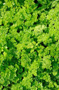 Free Green Curly Parsley Stock Photos - 26643093
