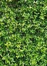 Free Carmona Retusa &x28;Vahl&x29; Masam Plant Stock Image - 26646151