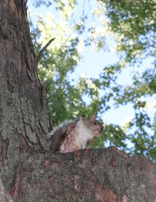 Free Grey Squirrel Royalty Free Stock Photos - 26641358