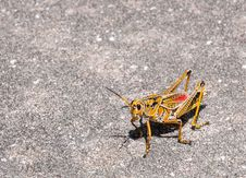 Free Giant Grasshopper Stock Photo - 26641660