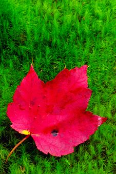 Red Maple Leaf Lies On Green Moss. Royalty Free Stock Photography