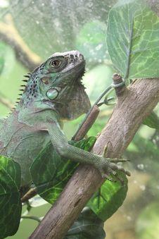 Free Iguana Royalty Free Stock Images - 26642459