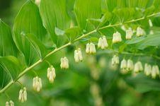 Free Flowering Polygonatum &x28;Solomon S Seal&x29; Plant Royalty Free Stock Images - 26643059