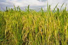 Free Cloudy With Yellow Rice Paddy Fields. Royalty Free Stock Photo - 26643225