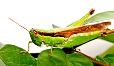 Free A Grasshopper On  Green Leave Royalty Free Stock Photos - 26646188