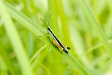 Grasshopper In Front Of Natural Background Stock Image