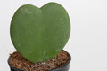 Free Heart Cactus Royalty Free Stock Images - 26669049