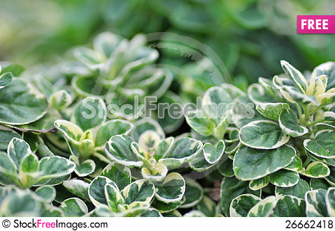 Free A Herb Pot Of Organic Variegated Orgegano Royalty Free Stock Photos - 26662418