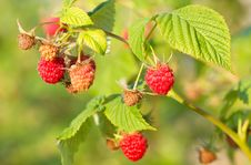 Free Red Raspberry Stock Photo - 26663140