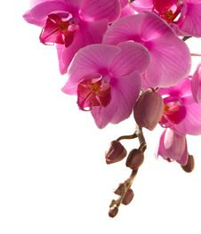 Free Pink Orchid Stock Image - 26665121