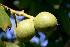 Free Walnuts Stock Photo - 26669230