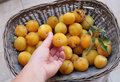 Free Plums Stock Image - 26671561
