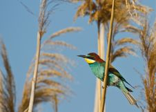 Free Bee-eater Royalty Free Stock Photos - 26675628