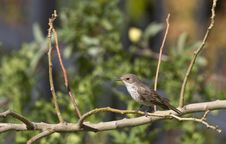 Free Spotted Flycatcher Royalty Free Stock Photos - 26675678