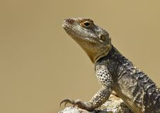 Roughtail Rock Agama &x28;Stellagama Stellio&x29; Royalty Free Stock Images