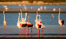 Free Ritual Of Flamingos Royalty Free Stock Photo - 26675935