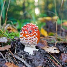 Free The Red Fly-agaric Growing In Wood In The Autumn Stock Image - 26676091