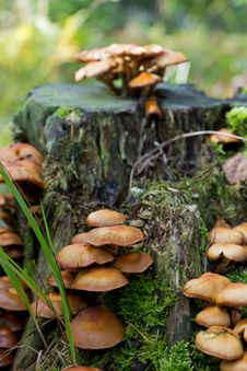 Free Mushrooms At A Stump Stock Images - 26676564