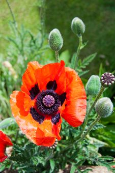 Free Colorful Poppy Stock Images - 26676624