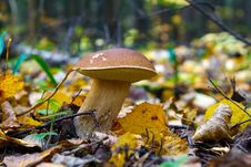 The Cepe Growing In Wood In The Autumn Royalty Free Stock Image