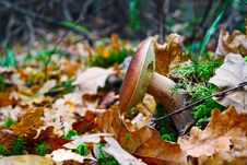 Free The Cepe Growing In Wood In The Autumn Stock Photos - 26677313