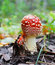 Free The Red Fly-agaric Growing In Wood In The Autumn Stock Photo - 26676700
