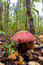 Free The Red Fly-agaric, Growing In Wood In The Autumn Stock Image - 26676801