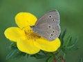 Free Aphantopus Hyperantus. Stock Photography - 26684382
