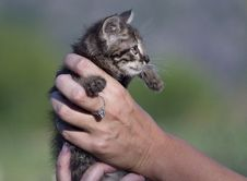 Free Cute Kitten In Womans Hands Royalty Free Stock Photo - 26683335