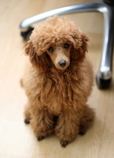 Free Toy Poodle Stock Images - 26683924