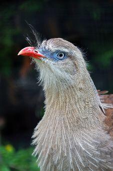 Seriema Bird Stock Images