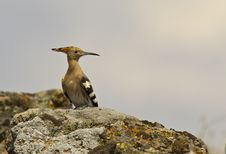 Hoopoe On Rock Royalty Free Stock Photos