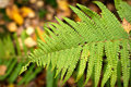 Free Autumn Fern Leaf In The Forest Royalty Free Stock Image - 26691596