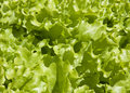 Free Lettuce Closeup Royalty Free Stock Images - 26691949