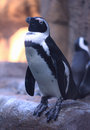 Free Humboldt Penguin Stock Photography - 26699222