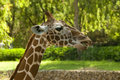 Free Head Of Giraffe Stock Photos - 26699473