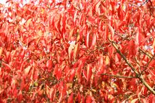 Free Red Leaves In Autumn Royalty Free Stock Images - 26691049