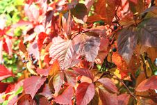 Free Red Leaves In Autumn Stock Photography - 26691152